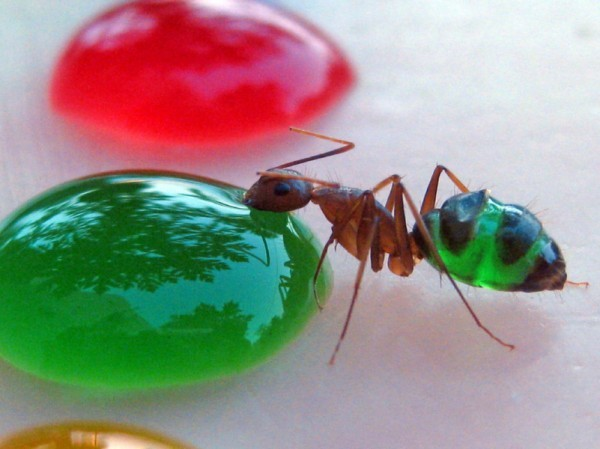Vinny Kumar | Ghost Ants Change Color According To The ...